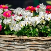 Beet- und Balkonblumen