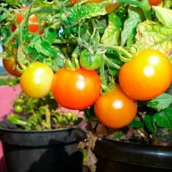 Tomaten in 10 cm Topf